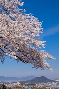 甘樫の丘より大和盆地と桜の写真素材 [FYI01618914]