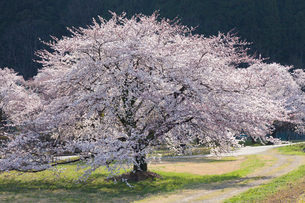 黒部川堤防の桜の写真素材 [FYI01618951]