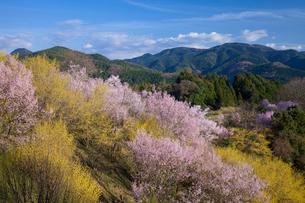 桜とサンシュユの花の写真素材 [FYI01618961]