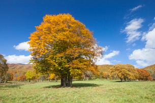 妙高高原の笹ヶ峰牧場の紅葉の写真素材 [FYI01618973]
