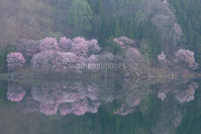 中綱湖の桜の写真素材 [FYI01619019]