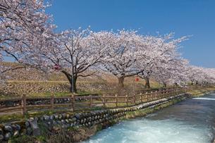 黒部川堤防の桜の写真素材 [FYI01619038]