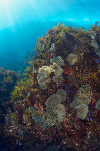 イソギンチャクのある海中風景の写真素材 [FYI01619053]