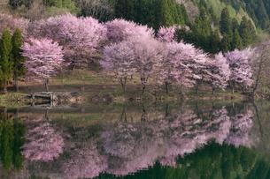 中綱湖の桜の写真素材 [FYI01619071]