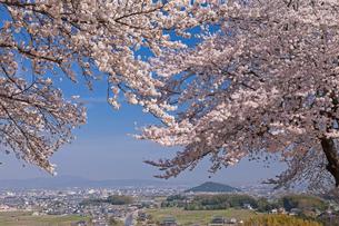 甘樫の丘より大和盆地と桜の写真素材 [FYI01619097]