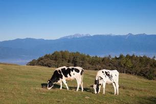 乳牛と高ボッチ高原の写真素材 [FYI01619101]