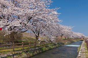 黒部川堤防の桜の写真素材 [FYI01619165]