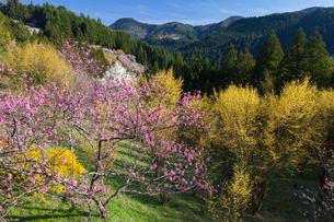 桃とサンシュユの花の写真素材 [FYI01619195]