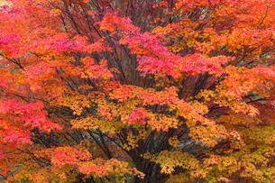 もみじ湖のカエデの紅葉の写真素材 [FYI01619228]