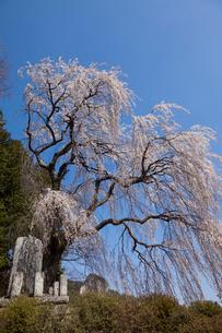 安曇野鼠穴の桜の写真素材 [FYI01619262]