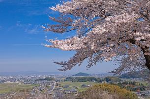 甘樫の丘より大和盆地と桜の写真素材 [FYI01619309]