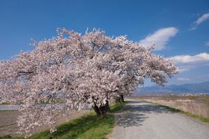 梓川堤防の桜並木の写真素材 [FYI01619310]