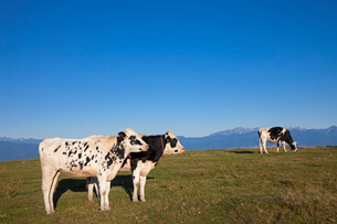 乳牛と高ボッチ高原の写真素材 [FYI01619313]