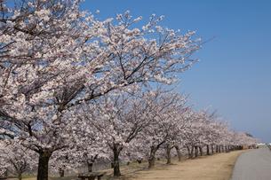 黒部川堤防の桜の写真素材 [FYI01619372]