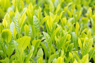 宇治茶の新芽の写真素材 [FYI01619378]