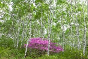 白樺とトウゴクミツバツツジの写真素材 [FYI01619390]