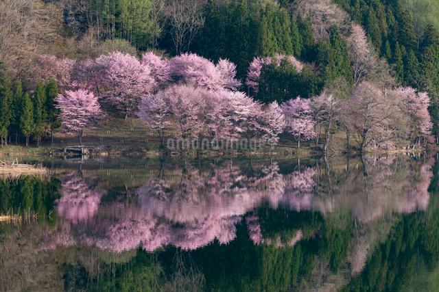 中綱湖の桜の写真素材 [FYI01619404]