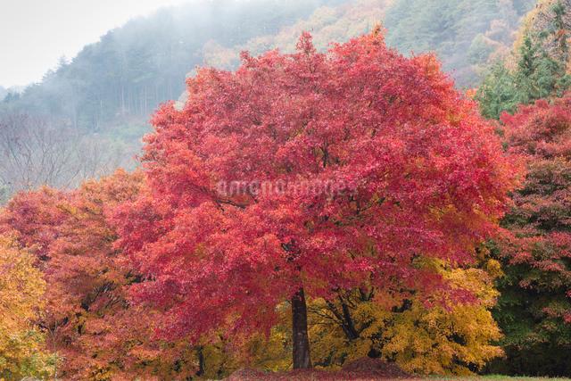 もみじ湖の紅葉の写真素材 [FYI01619411]
