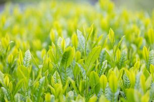 宇治茶の新芽の写真素材 [FYI01619443]