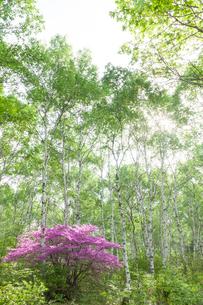 白樺とトウゴクミツバツツジの写真素材 [FYI01619562]