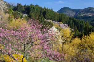 桃とサンシュユの花の写真素材 [FYI01619620]