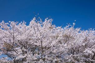 桜と青空の写真素材 [FYI01619789]