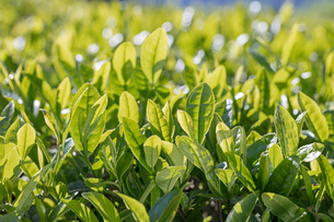 お茶畑の写真素材 [FYI01620204]