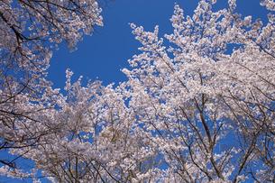 桜と青空の写真素材 [FYI01620277]