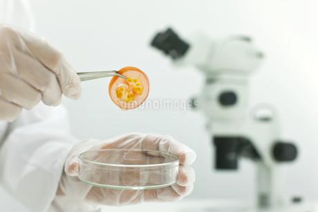 バイオの研究をする男性研究者の手の写真素材 [FYI01620634]
