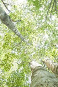 ブナ林の写真素材 [FYI01620647]
