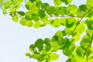 かつらの新緑の写真素材 [FYI01621594]