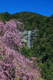 枝垂桜と那智ノ滝の写真素材 [FYI01622905]