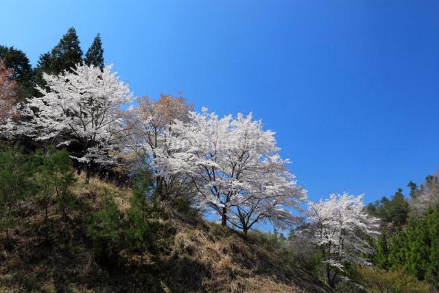 桜と青空の写真素材 [FYI01624833]