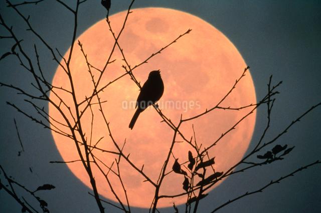 満月と小鳥の写真素材 [FYI01624891]