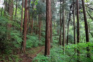 高野山のコウヤマキ群落の写真素材 [FYI01625171]