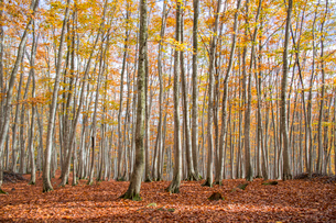 紅葉の松之山美人林の写真素材 [FYI01625421]
