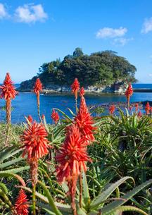 アロエの里に咲くアロエと竜宮島の写真素材 [FYI01625429]