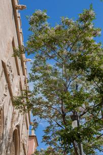 街路樹のセンダンの花と実の写真素材 [FYI01625468]