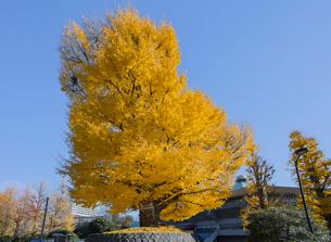 北の丸公園の大イチョウと日本武道館の写真素材 [FYI01625675]