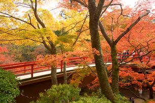 秋の弥彦公園もみじ谷の写真素材 [FYI01626294]