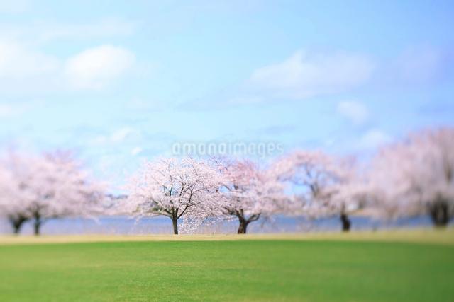 新潟県スポーツ公園の桜の写真素材 [FYI01626439]
