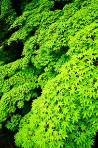 新緑の写真素材 [FYI01626528]