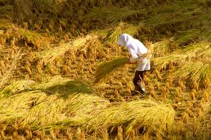 稲刈り作業の写真素材 [FYI01626725]