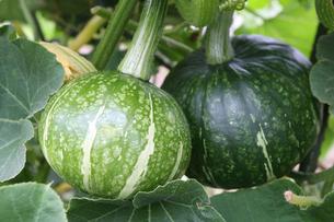 かぼちゃ畑の写真素材 [FYI01626826]