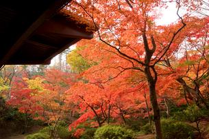 秋の弥彦公園もみじ谷の写真素材 [FYI01626891]