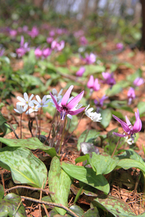 カタクリと雪割草の花の写真素材 [FYI01626938]