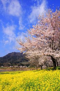 桜と菜の花の写真素材 [FYI01626979]