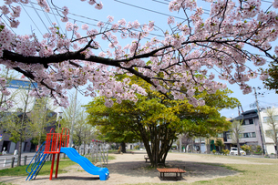 公園の桜の写真素材 [FYI01626984]
