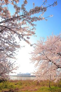桜と東北電力ビッグスワンスタジアムの写真素材 [FYI01627431]