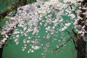 桜の花の写真素材 [FYI01627470]